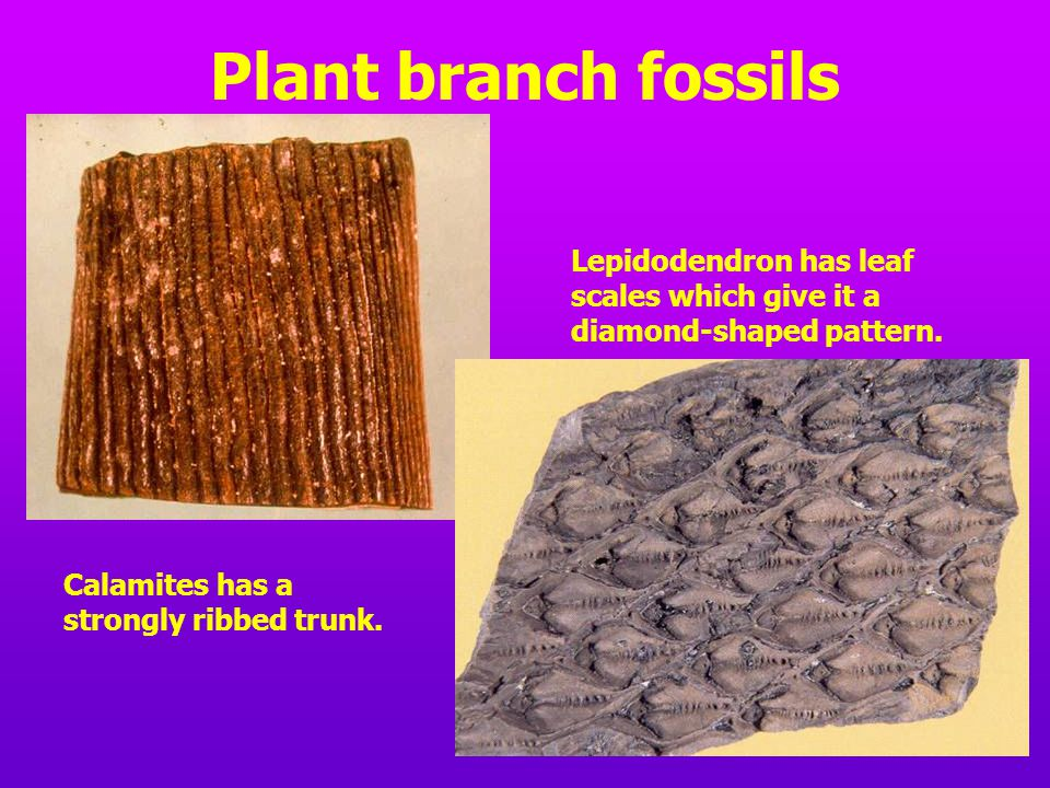 Plant branch fossils Lepidodendron has leaf scales which give it a diamond-shaped pattern.