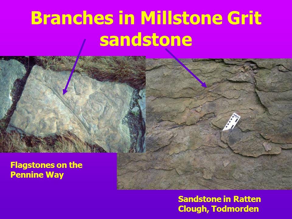 Branches in Millstone Grit sandstone