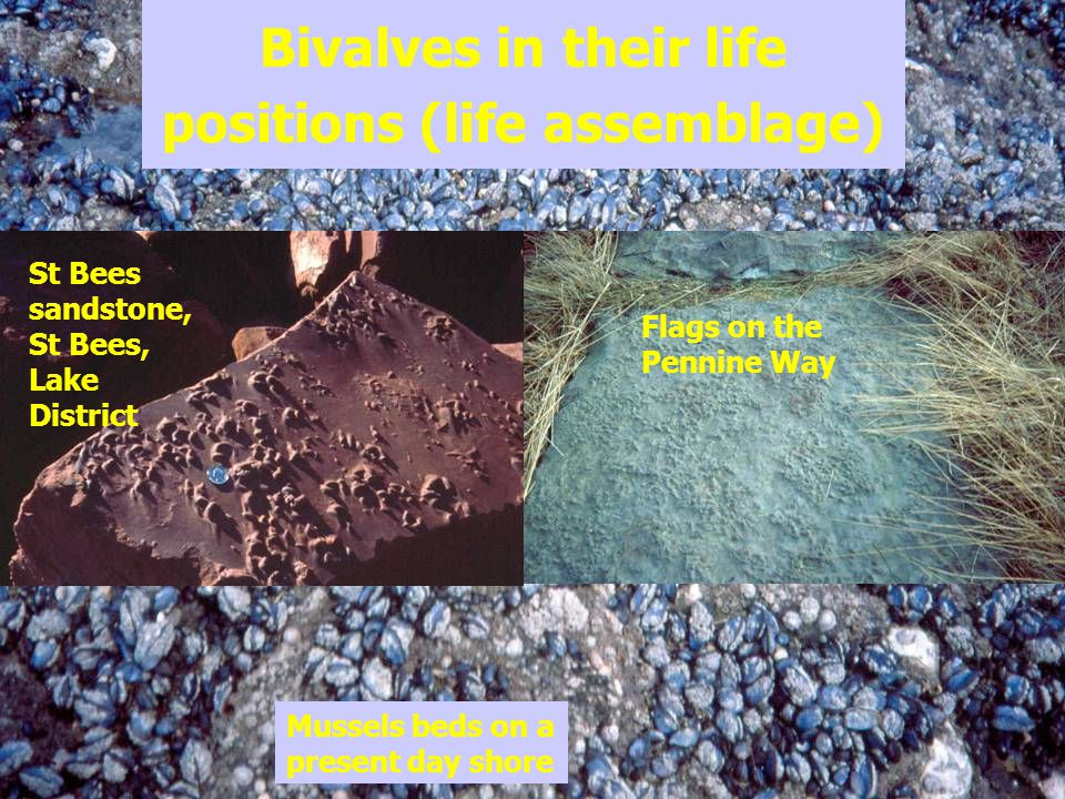 Bivalves in their life positions (life assemblage)