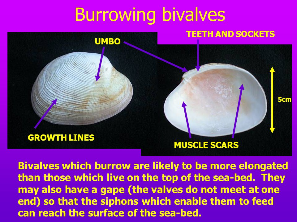 Burrowing bivalves TEETH AND SOCKETS. UMBO. 5cm. GROWTH LINES. MUSCLE SCARS.