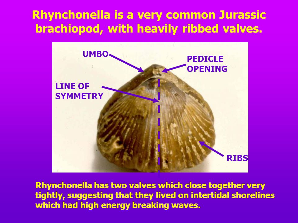 Rhynchonella is a very common Jurassic brachiopod, with heavily ribbed valves.