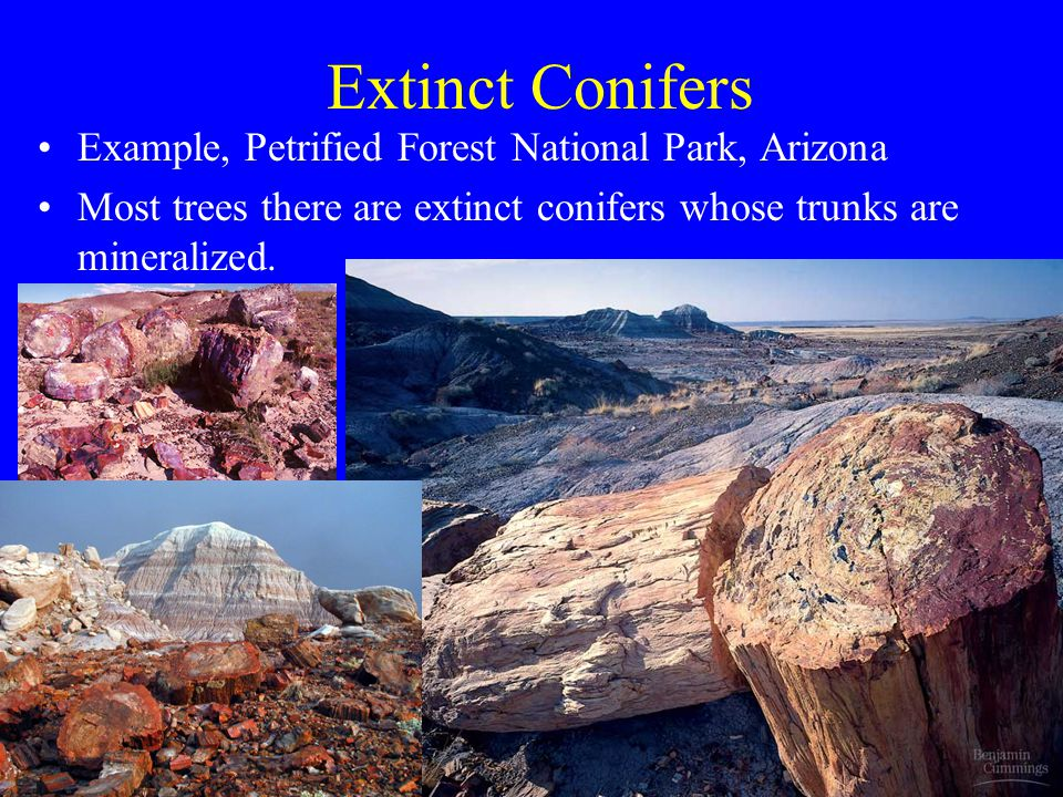 Extinct Conifers Example, Petrified Forest National Park, Arizona
