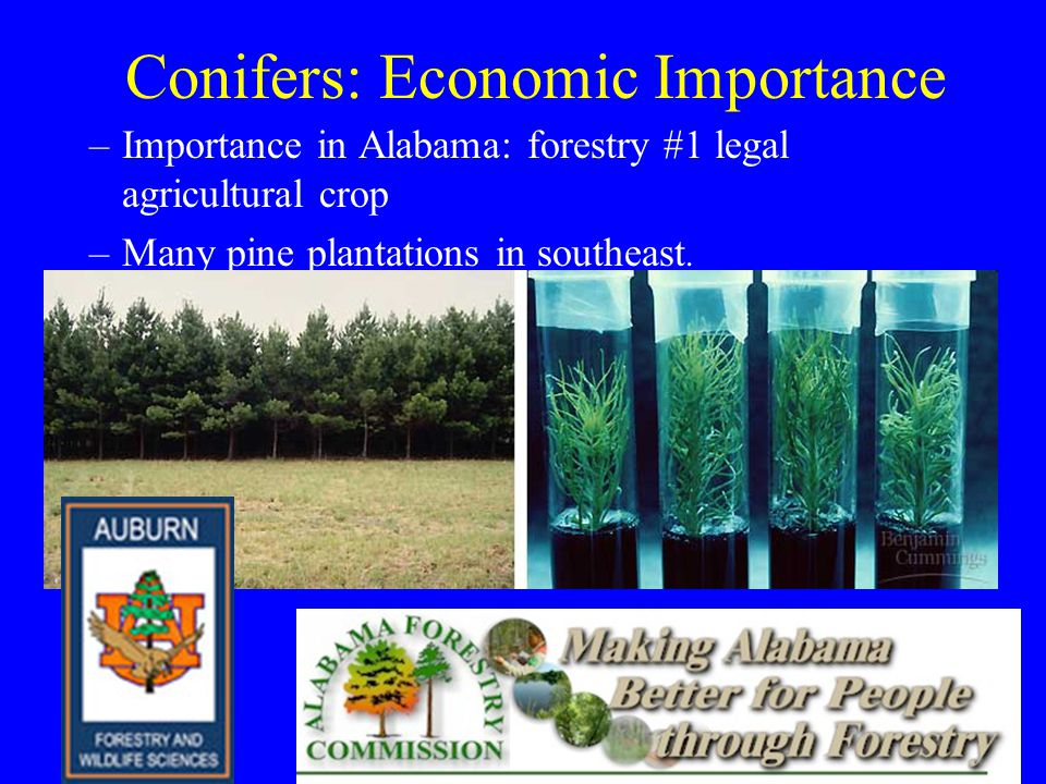 Conifers: Economic Importance