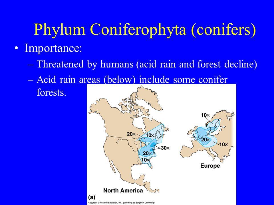 Phylum Coniferophyta (conifers)