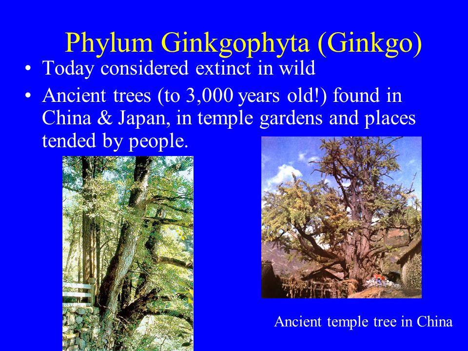 Phylum Ginkgophyta (Ginkgo)