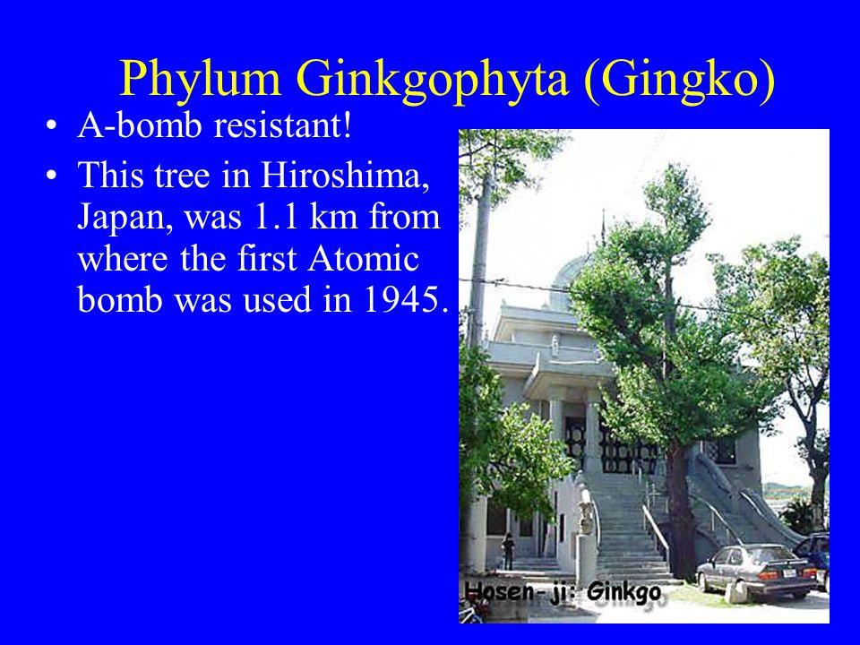 Phylum Ginkgophyta (Gingko)