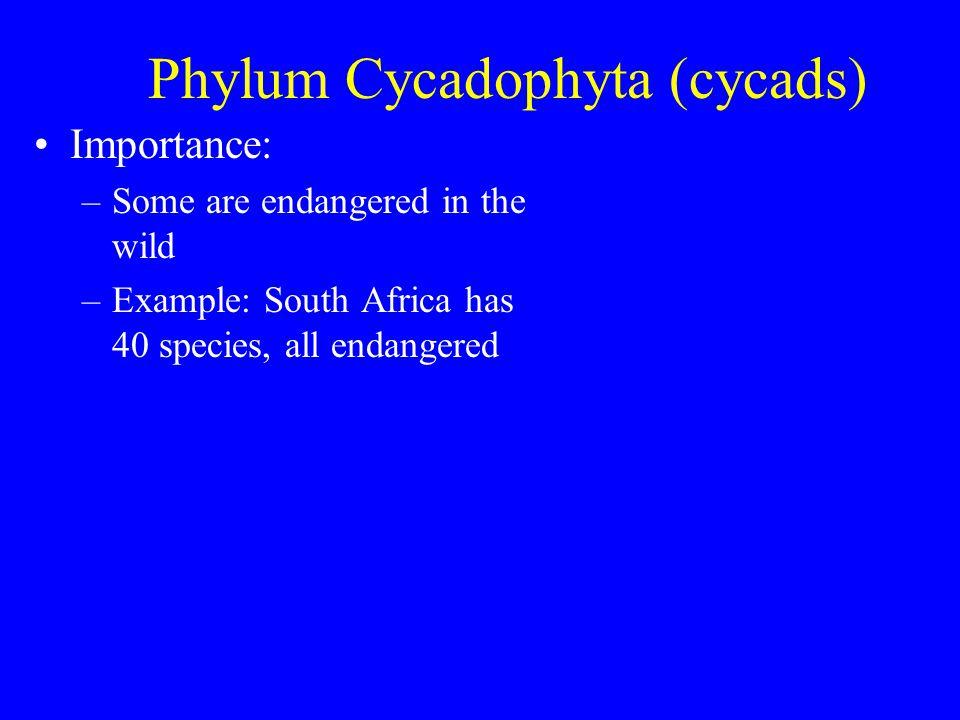 Phylum Cycadophyta (cycads)