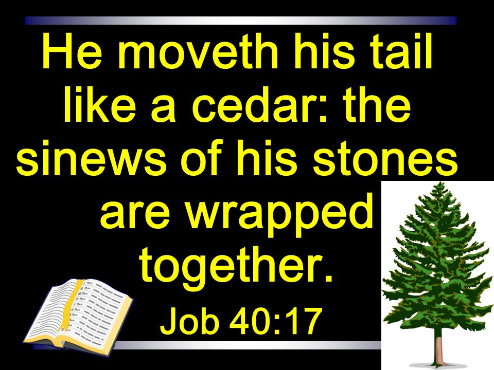 He moveth his tail like a cedar: the sinews of his stones are wrapped together.