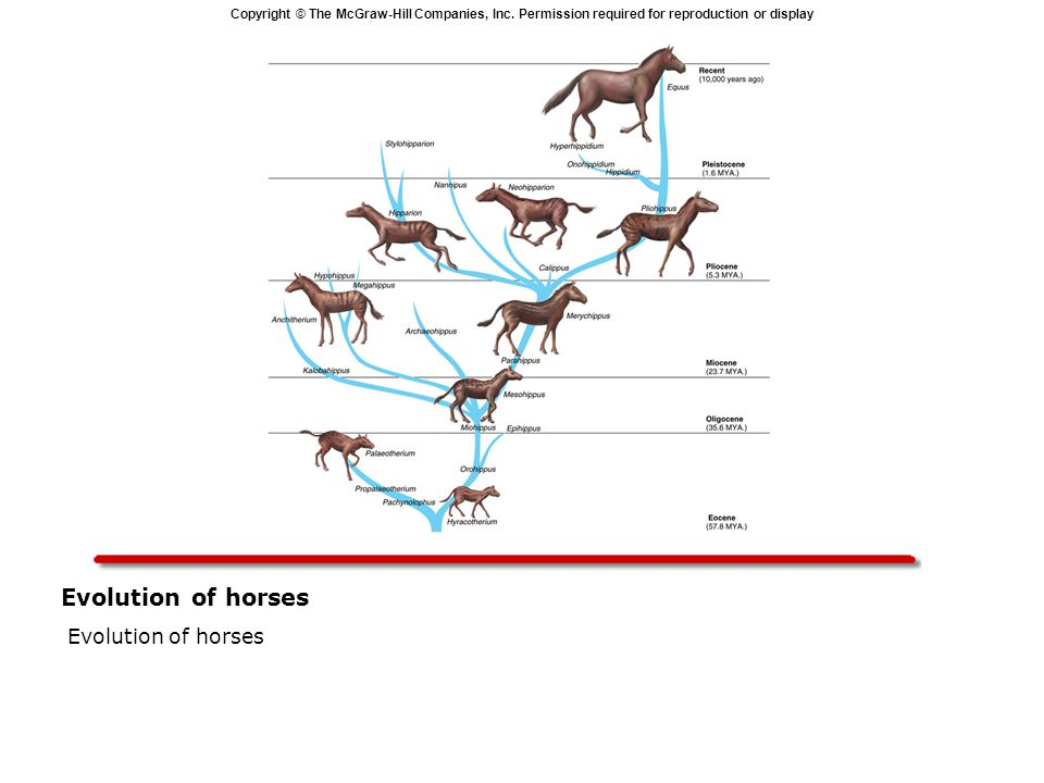 Evolution of horses Evolution of horses