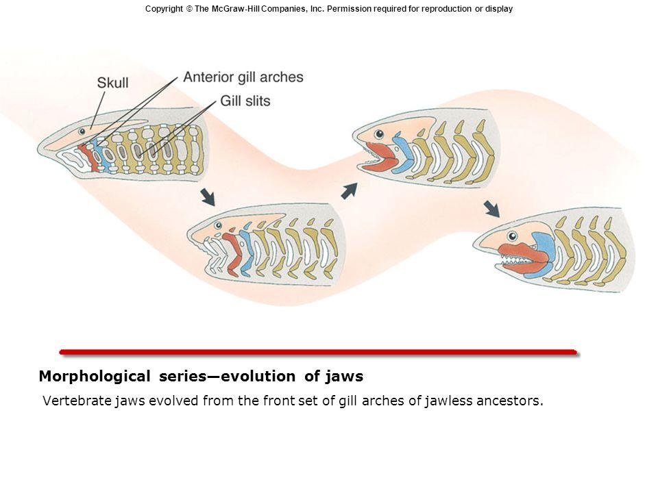Morphological series—evolution of jaws