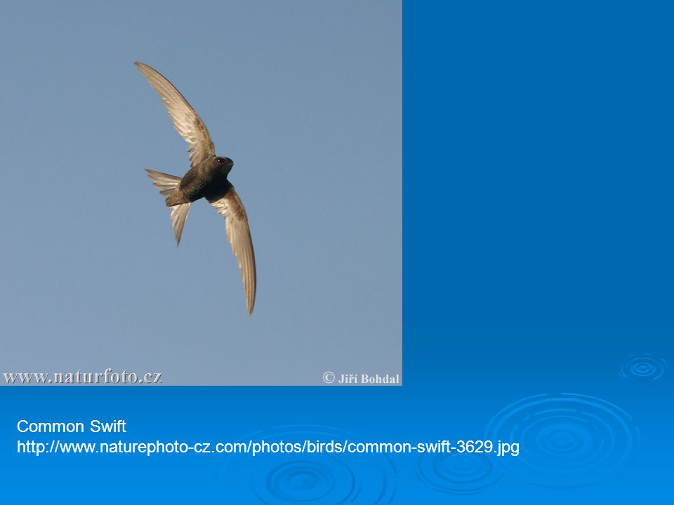 Common Swift http://www.naturephoto-cz.com/photos/birds/common-swift-3629.jpg