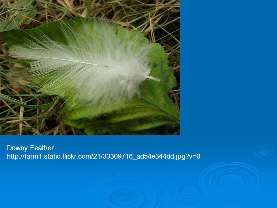 Downy Feather http://farm1.static.flickr.com/21/33309716_ad54e344dd.jpg?v=0