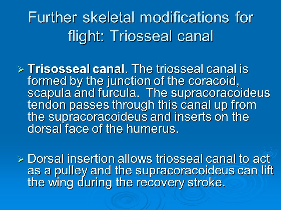 Further skeletal modifications for flight: Triosseal canal