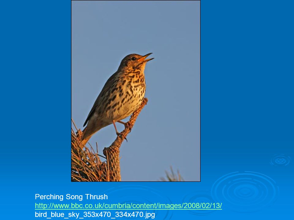 Perching Song Thrush http://www.bbc.co.uk/cumbria/content/images/2008/02/13/ bird_blue_sky_353x470_334x470.jpg.