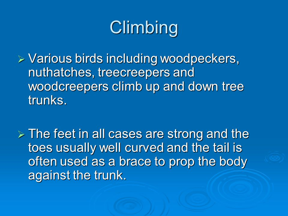 Climbing Various birds including woodpeckers, nuthatches, treecreepers and woodcreepers climb up and down tree trunks.