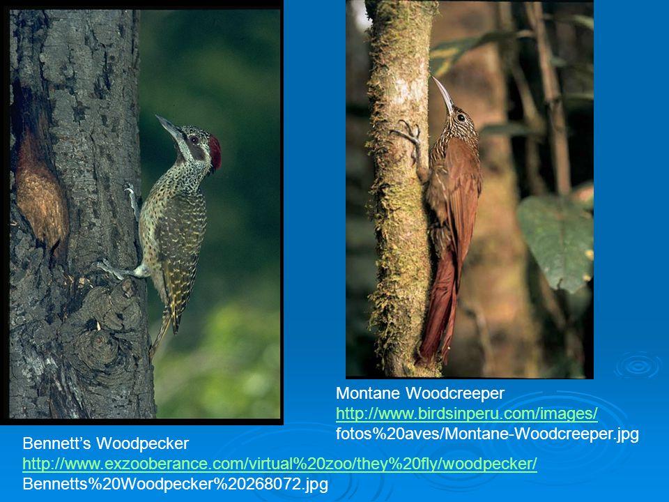 Montane Woodcreeper http://www.birdsinperu.com/images/ fotos%20aves/Montane-Woodcreeper.jpg. Bennett's Woodpecker.