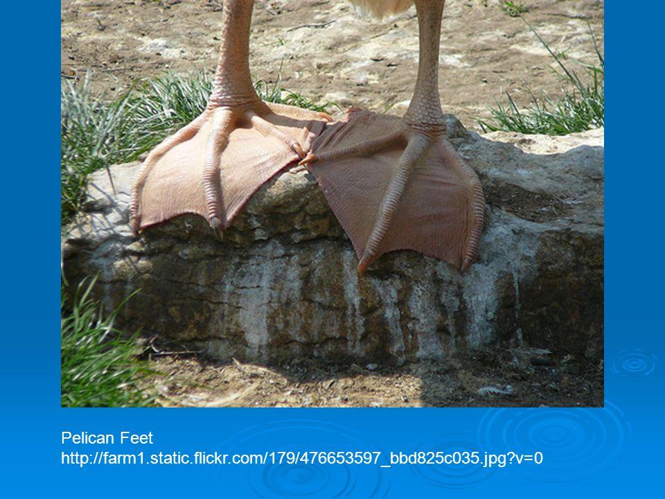 Pelican Feet http://farm1.static.flickr.com/179/476653597_bbd825c035.jpg v=0
