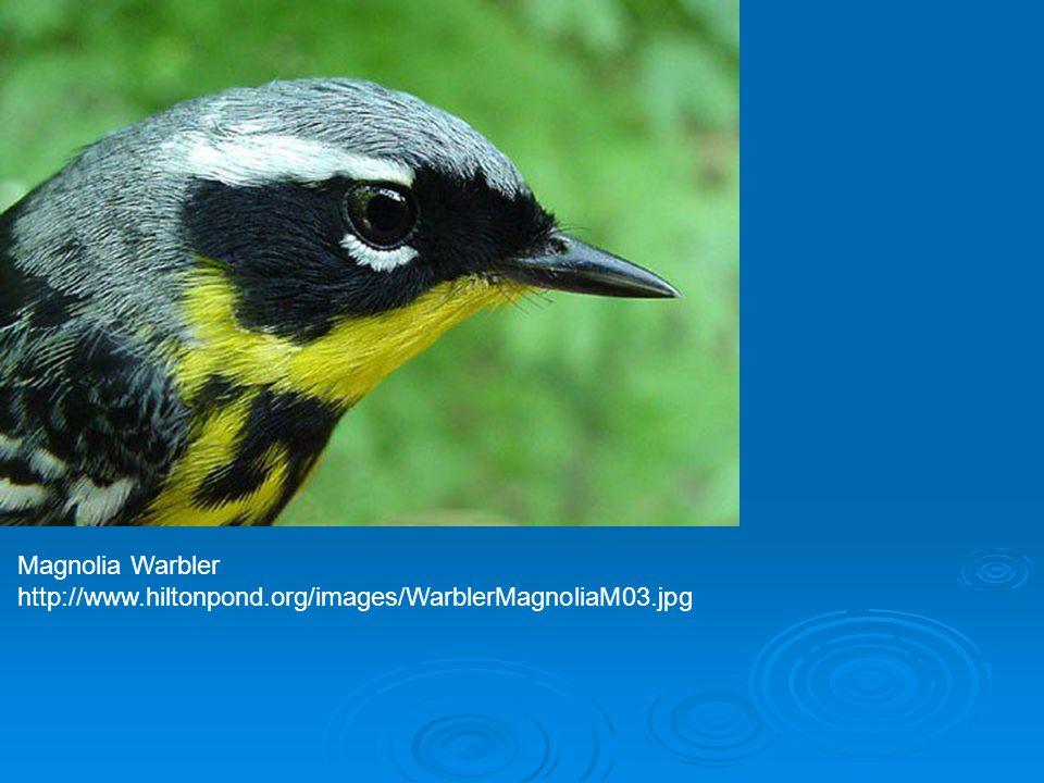 Magnolia Warbler http://www.hiltonpond.org/images/WarblerMagnoliaM03.jpg