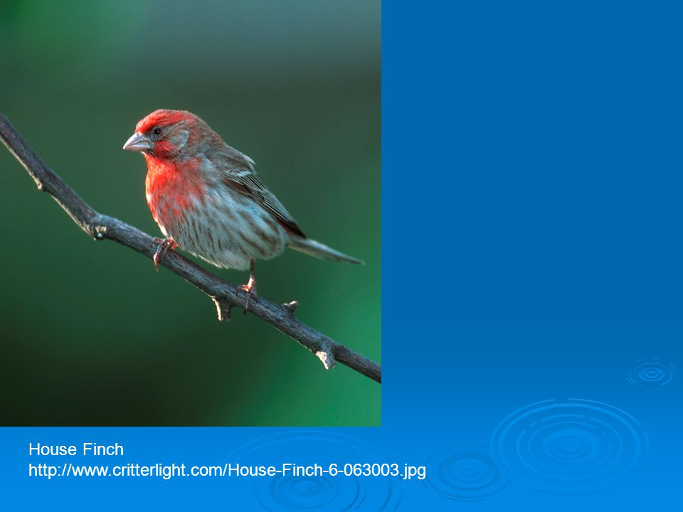 House Finch http://www.critterlight.com/House-Finch-6-063003.jpg