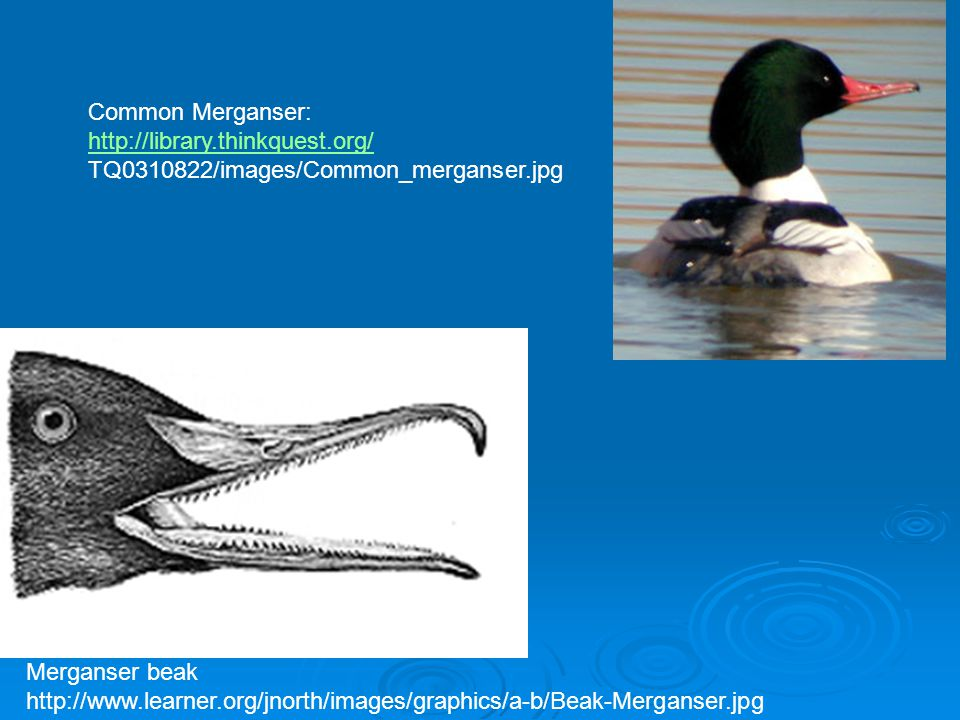 Common Merganser: http://library.thinkquest.org/ TQ0310822/images/Common_merganser.jpg. Merganser beak.