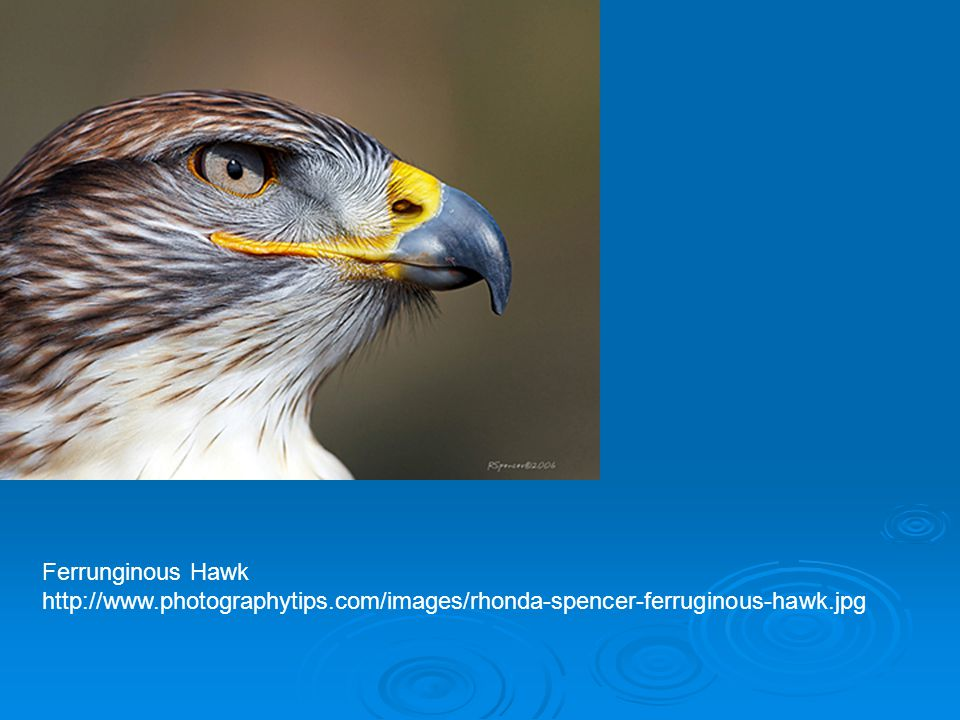 Ferrunginous Hawk http://www.photographytips.com/images/rhonda-spencer-ferruginous-hawk.jpg