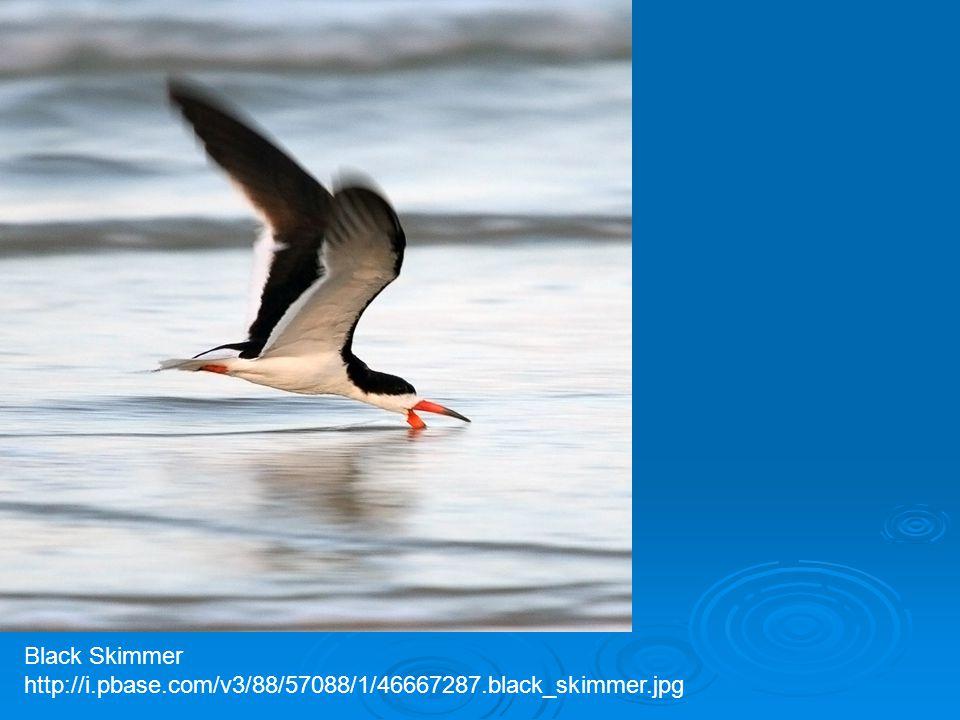 Black Skimmer http://i.pbase.com/v3/88/57088/1/46667287.black_skimmer.jpg