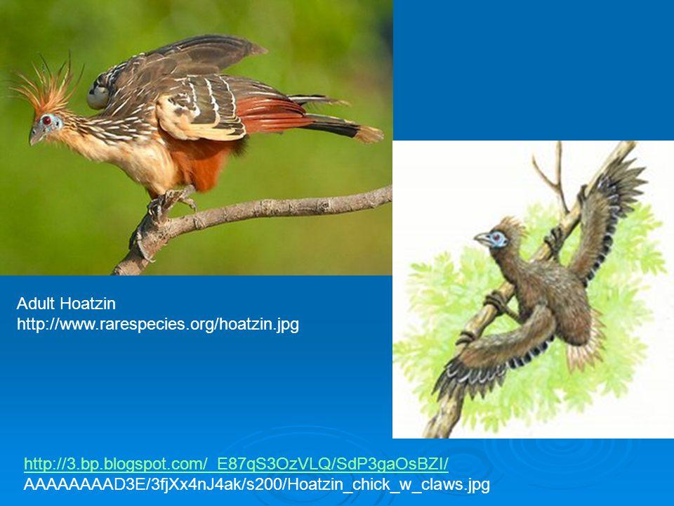Adult Hoatzin http://www.rarespecies.org/hoatzin.jpg. http://3.bp.blogspot.com/_E87qS3OzVLQ/SdP3gaOsBZI/