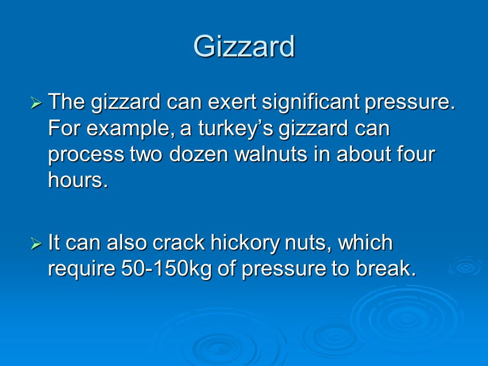 Gizzard The gizzard can exert significant pressure. For example, a turkey's gizzard can process two dozen walnuts in about four hours.