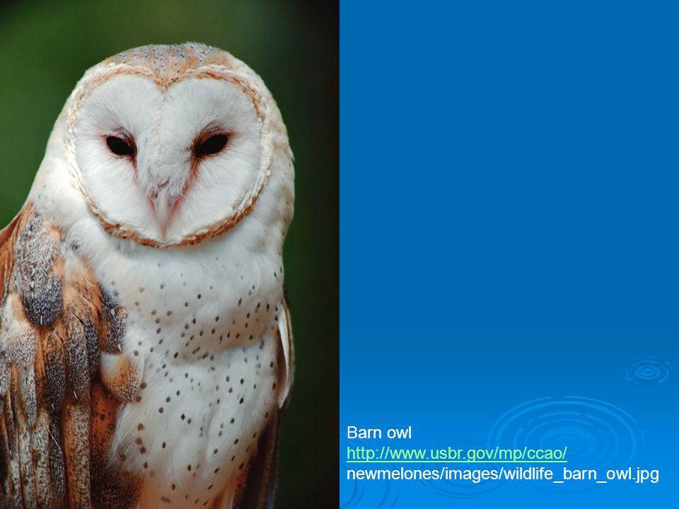 Barn owl http://www.usbr.gov/mp/ccao/ newmelones/images/wildlife_barn_owl.jpg