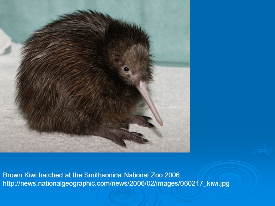 Brown Kiwi hatched at the Smithsonina National Zoo 2006:
