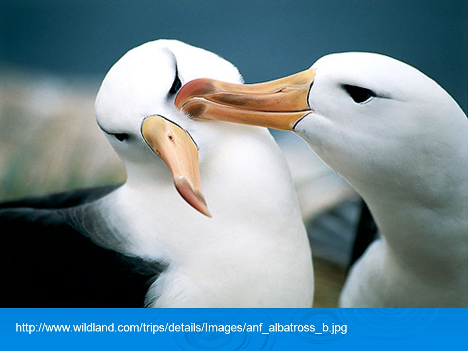 http://www.wildland.com/trips/details/Images/anf_albatross_b.jpg