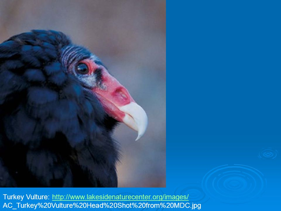 Turkey Vulture: http://www.lakesidenaturecenter.org/images/