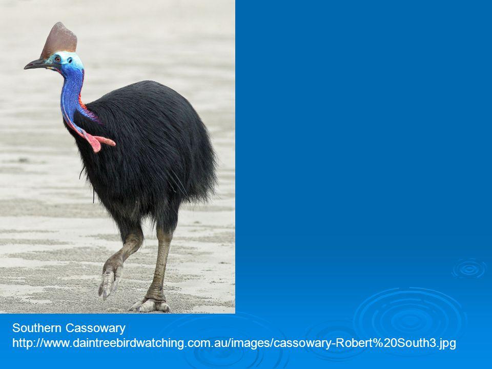 Southern Cassowary http://www.daintreebirdwatching.com.au/images/cassowary-Robert%20South3.jpg