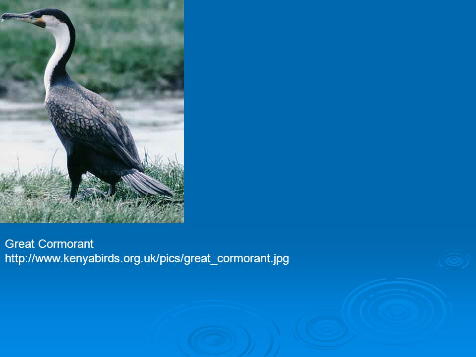 Great Cormorant http://www.kenyabirds.org.uk/pics/great_cormorant.jpg
