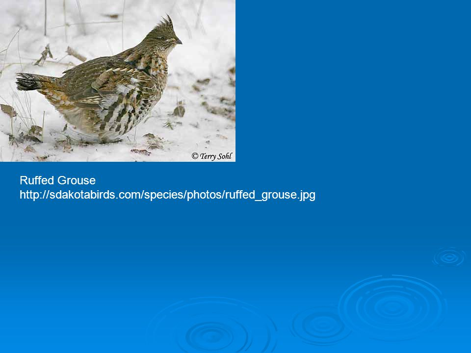 Ruffed Grouse http://sdakotabirds.com/species/photos/ruffed_grouse.jpg