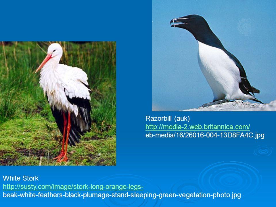 Razorbill (auk) http://media-2.web.britannica.com/ eb-media/16/26016-004-13D8FA4C.jpg. White Stork.