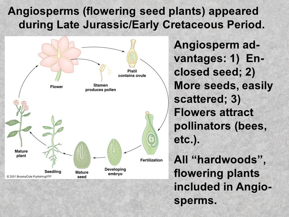 Angiosperms (flowering seed plants) appeared during Late Jurassic/Early Cretaceous Period.