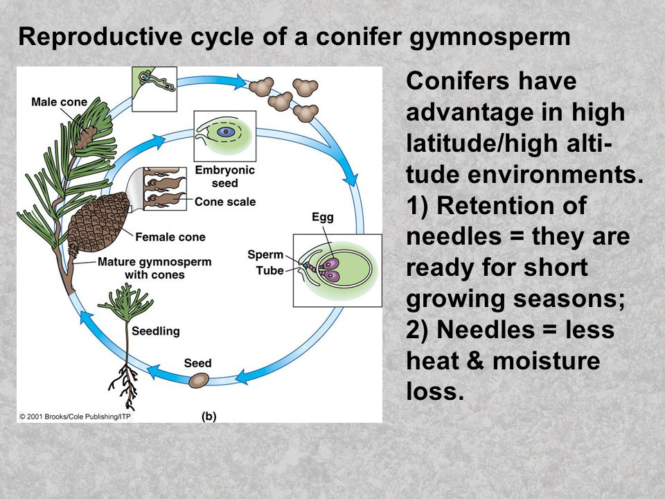 Reproductive cycle of a conifer gymnosperm