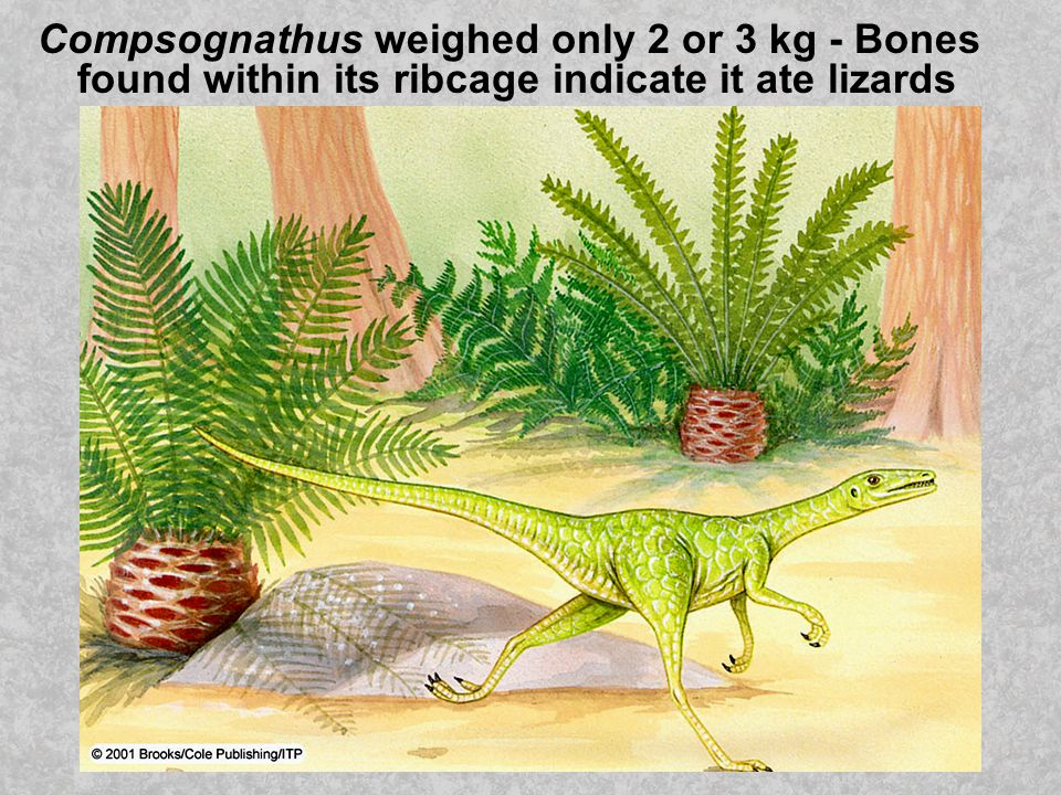 Compsognathus weighed only 2 or 3 kg - Bones found within its ribcage indicate it ate lizards