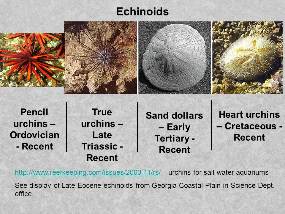 Echinoids Pencil urchins – Ordovician - Recent