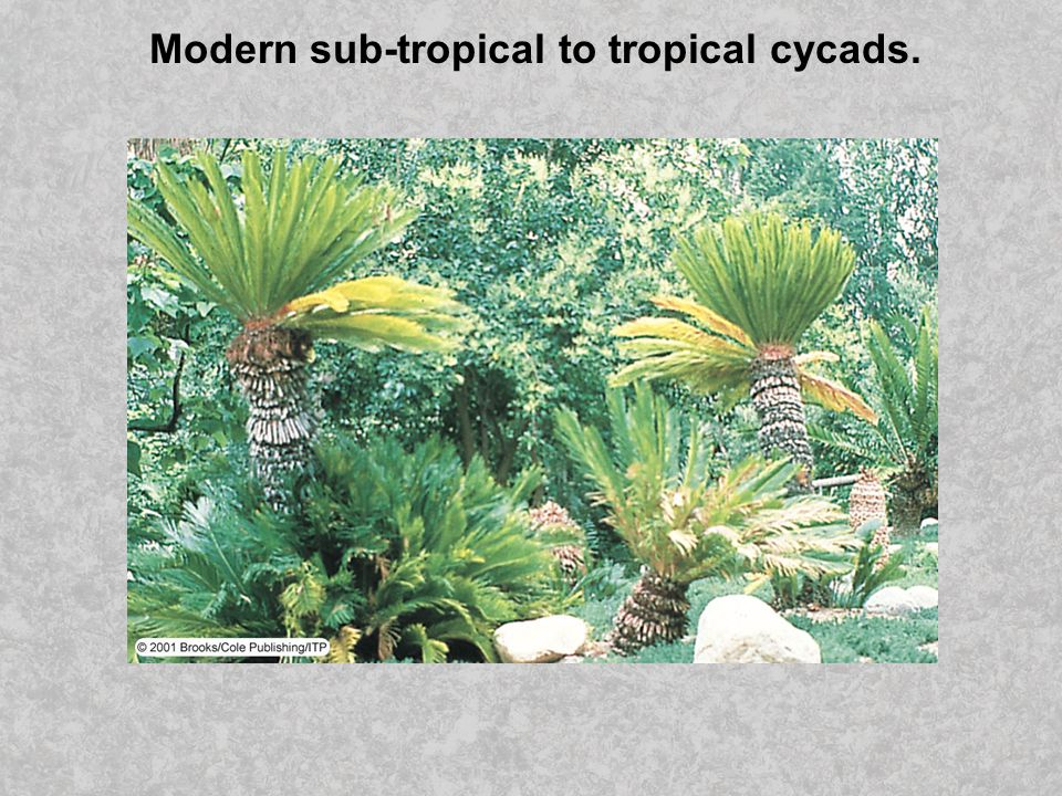 Modern sub-tropical to tropical cycads.