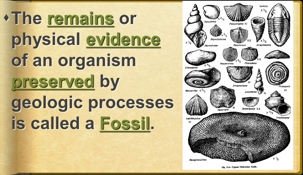 The remains or physical evidence of an organism preserved by geologic processes is called a Fossil.