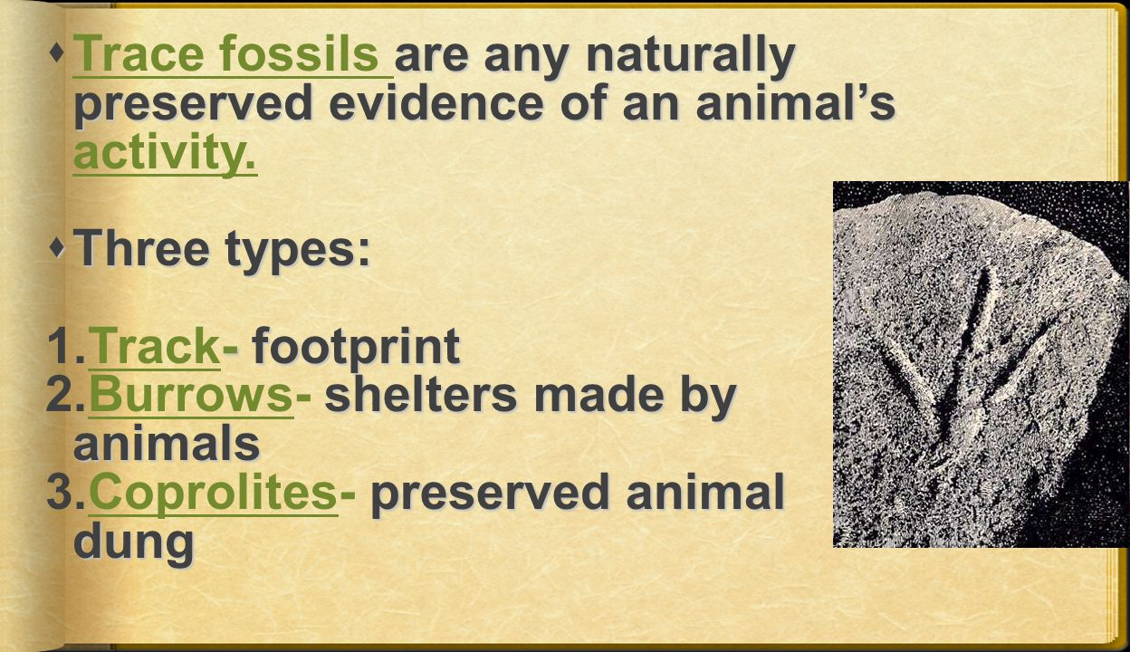 Trace fossils are any naturally preserved evidence of an animal's activity.
