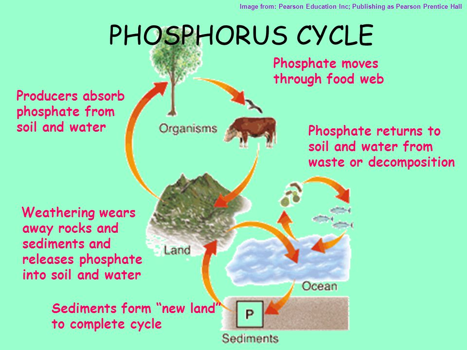 PHOSPHORUS CYCLE Phosphate moves through food web