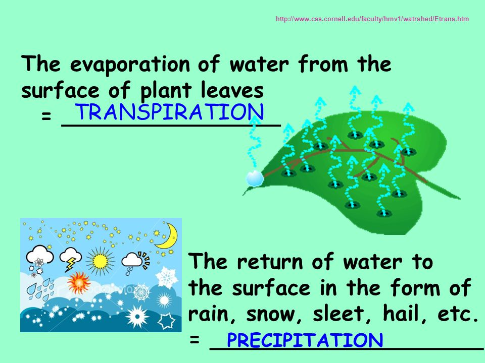 The evaporation of water from the surface of plant leaves