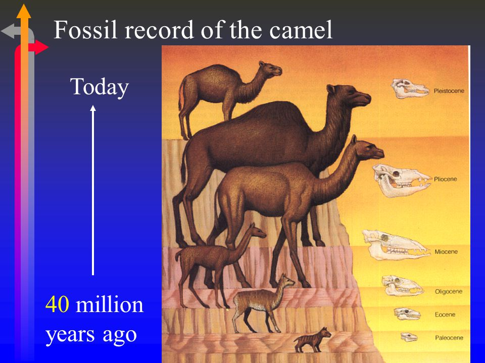 Fossil record of the camel