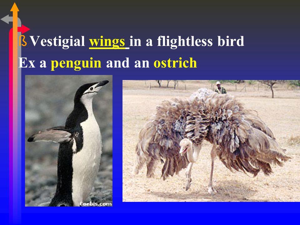 Vestigial wings in a flightless bird
