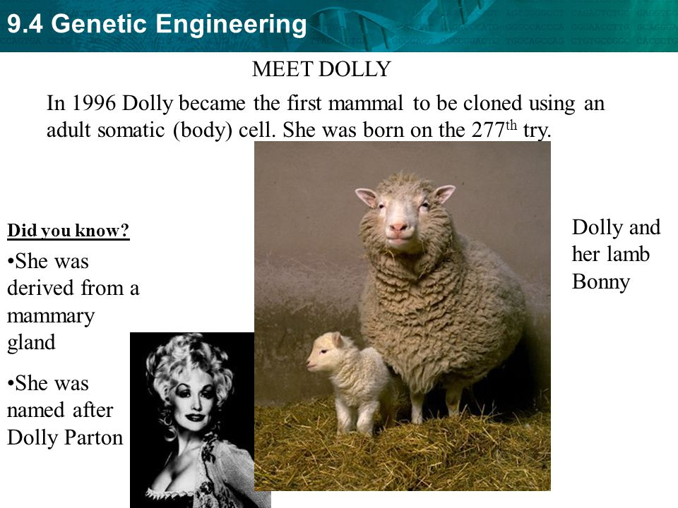 Dolly and her lamb Bonny