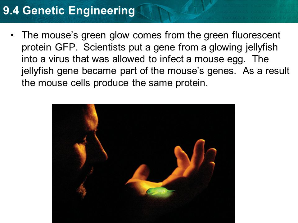 The mouse's green glow comes from the green fluorescent protein GFP