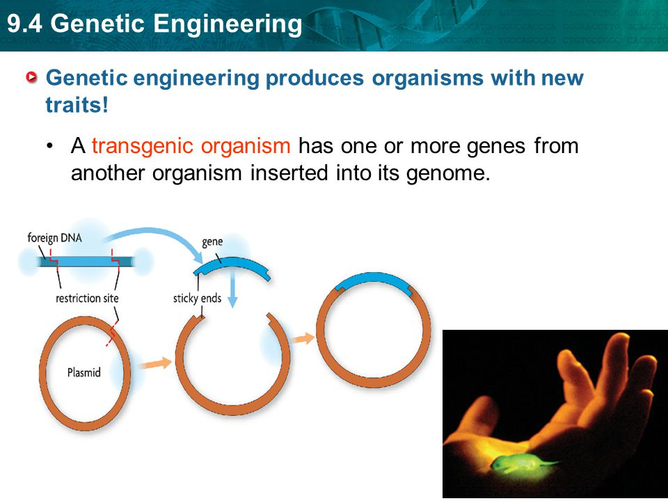 Genetic engineering produces organisms with new traits!